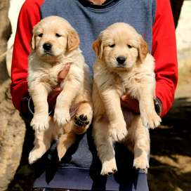 Superb Quality Golden Retriver puppies