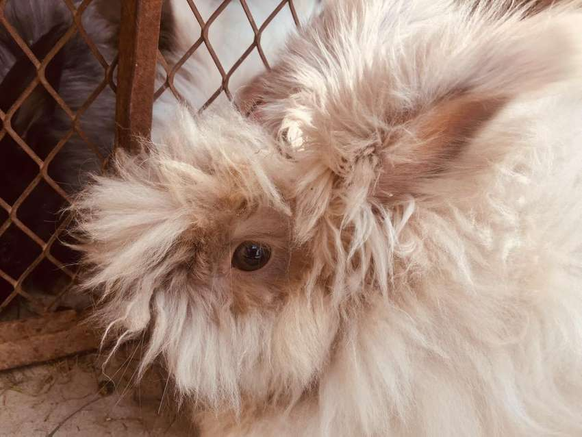 English Angora imported male