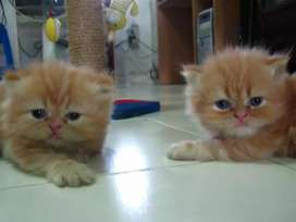 55 days old Persian kitten for sale