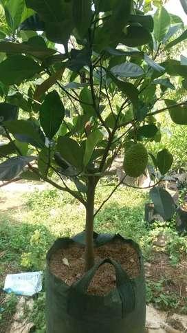 Pohon bibit buah