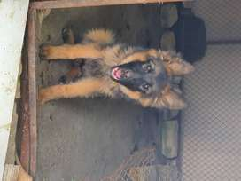 Germany Shepherd Black mask female puppy
