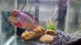 Ikan LOUHAN KAMFA / CHING HWA, ikan PREDATOR