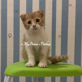 Kucing kitten scottish fold shorthair jantan