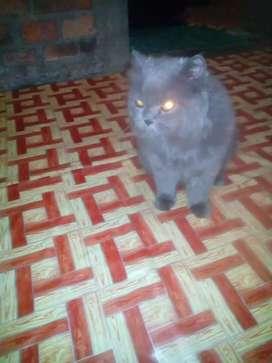 Jual kucing mixdome,turunan flatnose