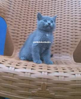 British shorthair blue Male