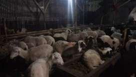 Jual domba gemukan
