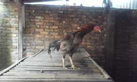 ayam jago warna klabu