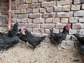 Australorp 3 months chicks available for sale in lahore