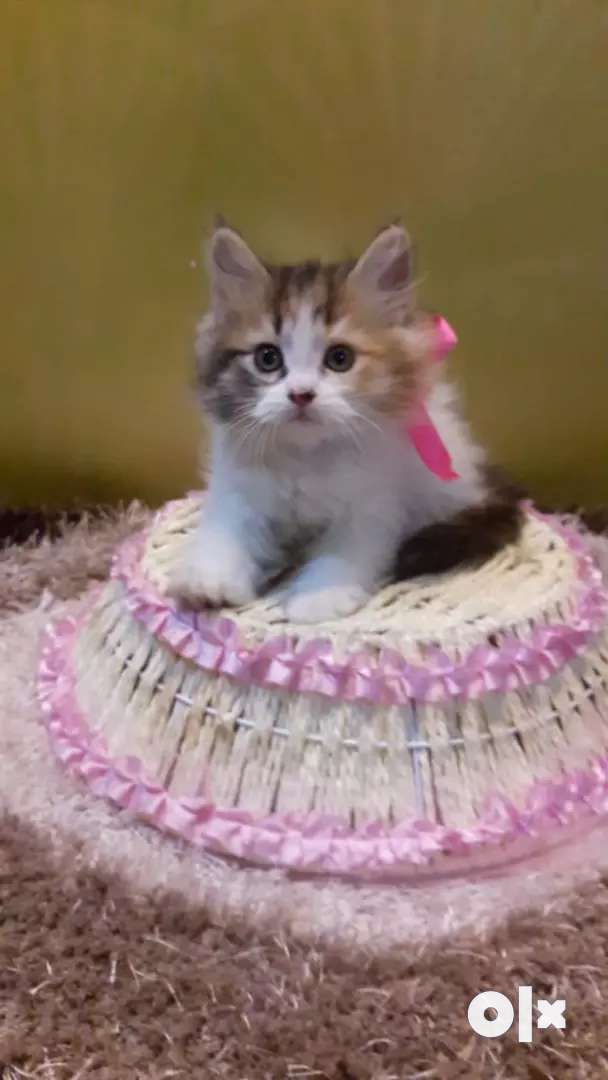 Baby Persian cats kitten sale in all beautiful colors 0