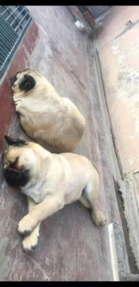 Male pedigree pug for sale(Heavy bony structure and having piki face)