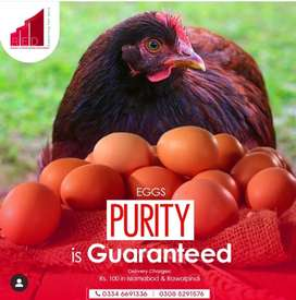 Pure breed fertile RIR eggs and chicks available