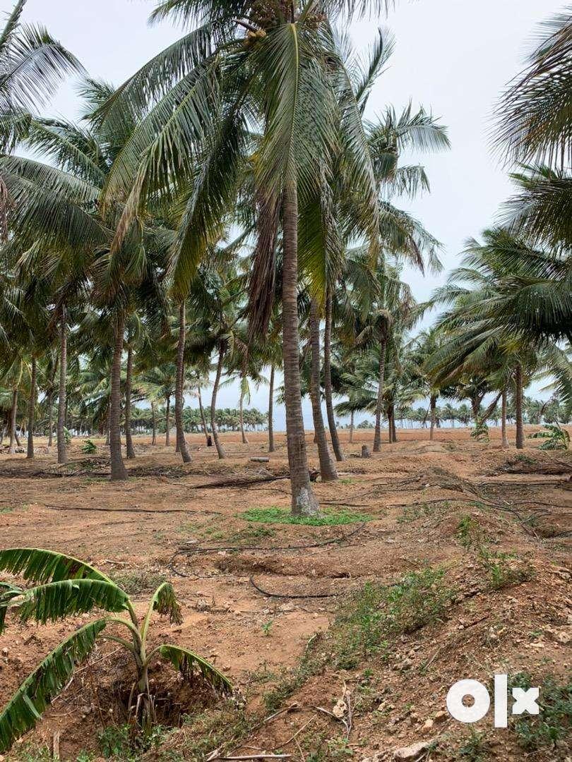 Coconut farm/agriculture land/agricultural land/farm land/farm house 0