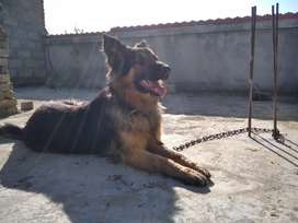 I sell my Gsd dog.