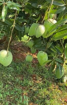 Mangoes organic banginapalli,suvarna rekha