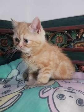 Kitten Flatnose Turun