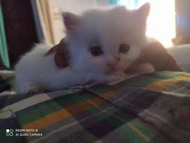 Persian cat 2months