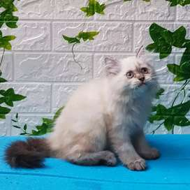 Kitten Himalaya Flatnose