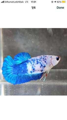 Ikan cupang jantan marble