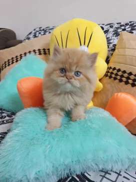 Beautiful persian cat kitten delivery all over India