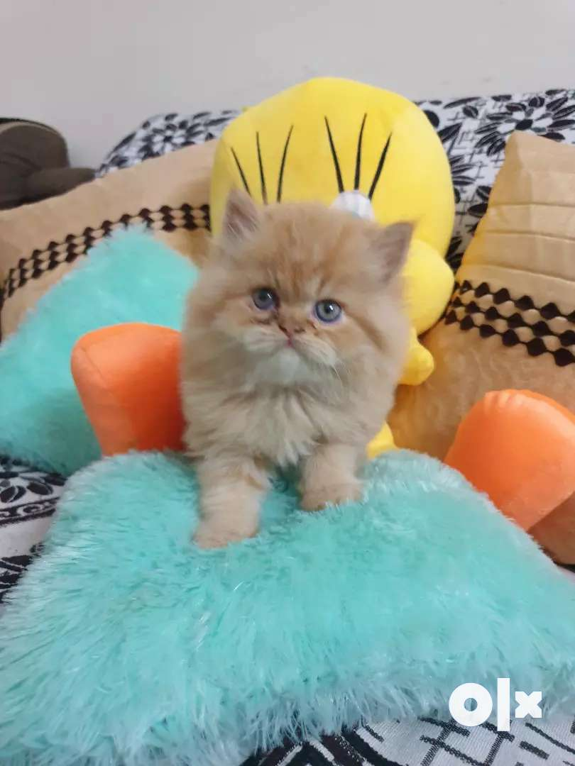 Beautiful persian cat kitten delivery all over India 0