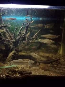 Ikan wader cakul dan wader pari