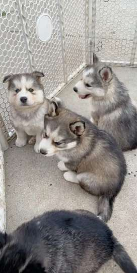 Husky for sale imported