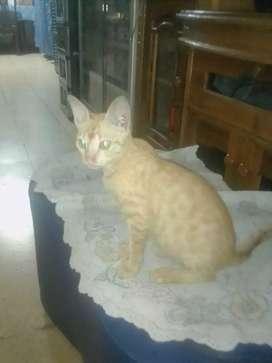 Kucing Taby Ticked Oren betina