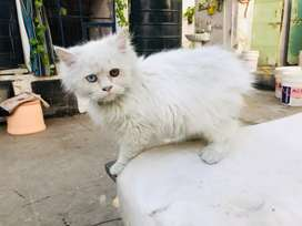 Persian kittens available jaipur rajasthan
