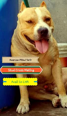American Pitbull Terior beautiful male available for stud cross mating