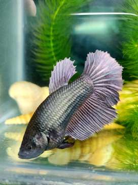 Copper Choco Female Betta/Fighter fish ready for Breeding is for sale