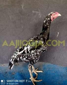 Ayam Bangkok Betina Khoyngon Panus Tulangan Mewah
