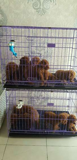 Red tiny toy poodle super red