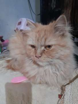 Persion cat female very beauty full