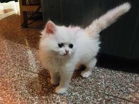 Persian kitten 2 months old