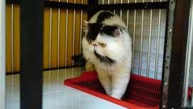 Kucing Peaknose Persia LH Jantan