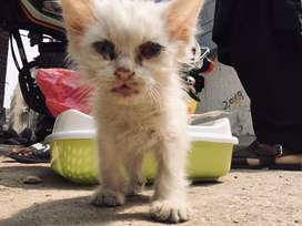 Persian cat 20days old citti for sell