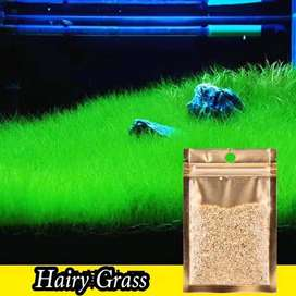 carpet seed aquascape hairgrass 15gr