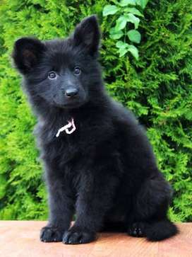 Black(dark) Pure breeD German Shepherd puppy