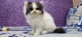 Long hair bicolor Persian cat heavy bone kitten