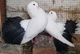 Black tail lucky for sale young pair