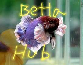 All kinds of betta fish available