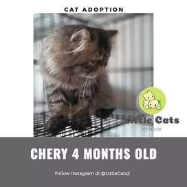 Jual kucing persia kitten peaknose longhair usia 4 bulan