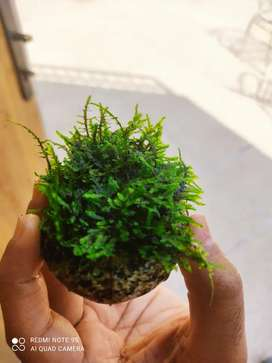 Aquarium peacock moss plant for SALE