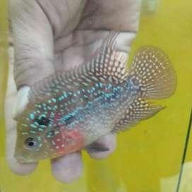 Ikan Louhan Kamfa F3 2619