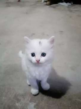 Pershion cats couple for sale