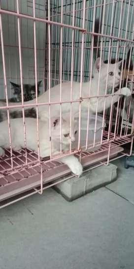 Semi hibah kucing anakan umur 3bln jantan cream sehat
