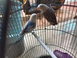 Jual Love Bird 3bln
