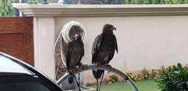 Eagle for sale low price