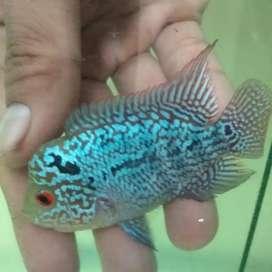Ikan Louhan Kamfa 2616