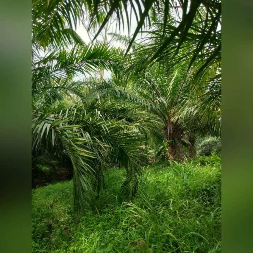 Dijual Kebun Sawit Produktif 1 hamparan di Pandeglang, Banten 0